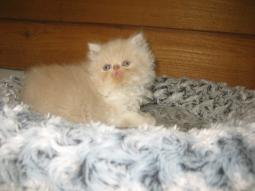 bicolor-cream-persian-female.JPG